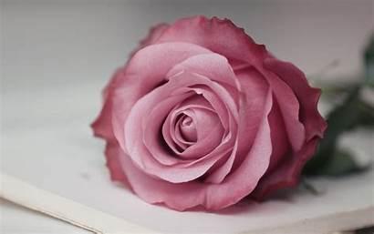 Pink Rose Macro Oictures Pixelstalk