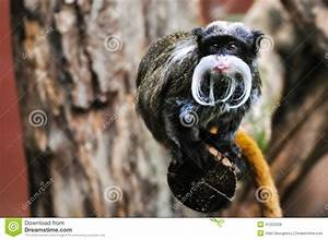 Emperor Tamarin Monkey Sticking Out Its Tongue Stock Photo ...