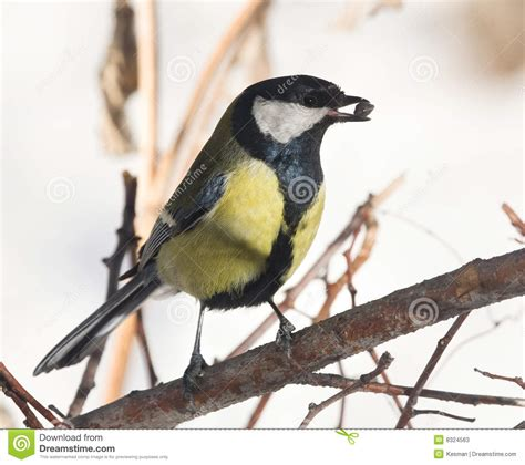 tit warbler with food in mouth stock photos image 8324563