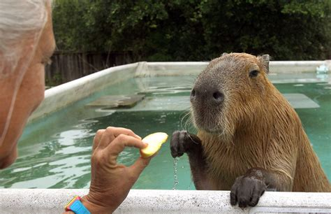 capybara pet capybara chicago tribune