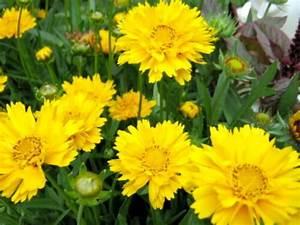 Gelbe Sommerblumen Mehrjährig : m dchenauge coreopsis winterhart leuchtend gelbe bl ten sommer blumen 50 samen ebay ~ Frokenaadalensverden.com Haus und Dekorationen