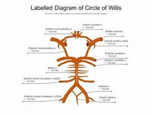 Labelled Diagram Of Circle Of Willis