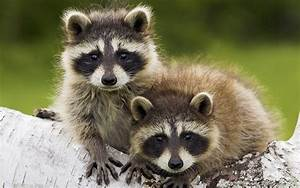 raccoon hd wallpapers | Movies Songs Lyrics