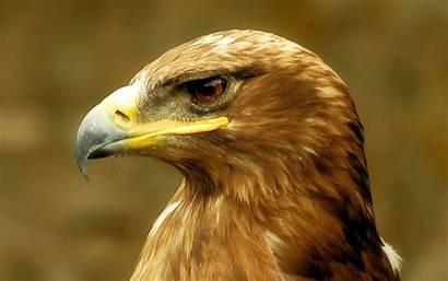 Eagle Golden Brown Head Bird Wallpapers Eagles