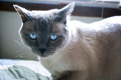 Image  Blue Point Siamesejpg  Cats Wiki