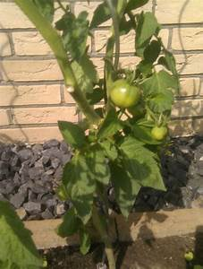 Dünger Für Tomaten : tomaten ameisen und d nger ~ Watch28wear.com Haus und Dekorationen