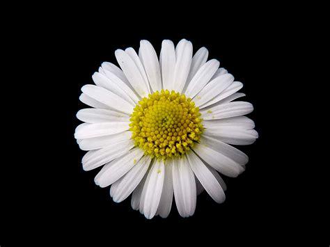 osi flower black by hl bellis perennis