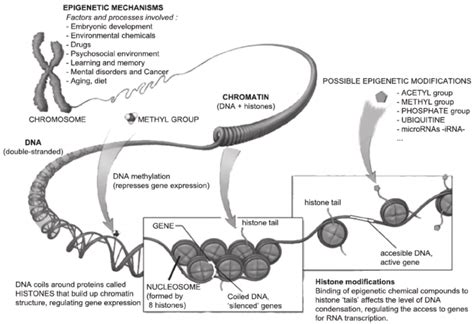 Diagram Of Chromatin by Simpli Fi Ed Schematic Drawing Of Chromatin Structure