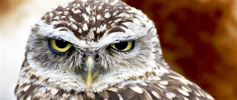 For Burrowing Owls, City Parks Offer Scant Protection