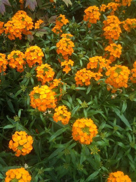 ornamental villandry vegies gardendrum wallflower fragrant published september