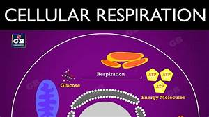 Cellular Respiration   Life Processes   10th Biology  Cbse