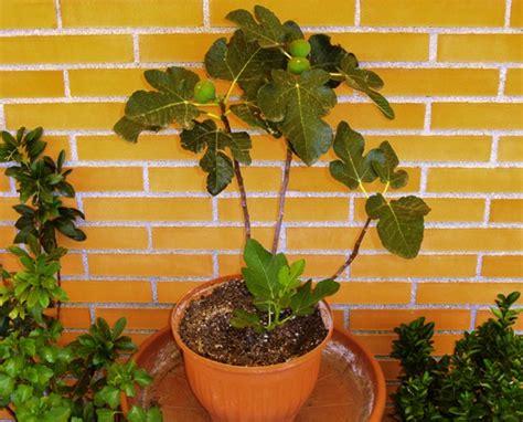 quel arbre en pot quel arbre fruitier en pot pour terrasse