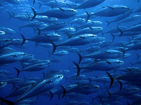 reducing bluefin tuna bycatch   gulf  mexico