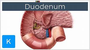 Duodenum Function And Overview
