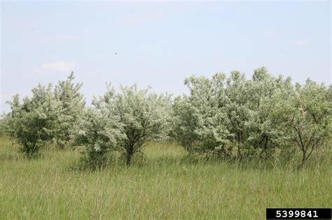 do olive trees invasive roots russian olive elaeagnus angustifolia rhamnales elaeagnaceae 5399841