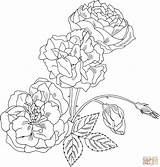 Coloring Rose Pages Bush Roses Drawing Thorns Duchesse Brabant Printable Detailed Intricate Drawings Flower Plant Clipart Supercoloring Adult Line Easter sketch template