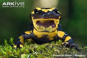 Common fire salamander videos, photos and facts ...