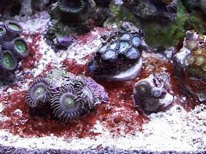 CYANORRA SUCKER: Getting rid of cyanobacteria algae ...