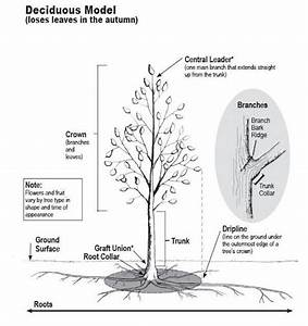 A Quick Lesson On How A Tree Grows
