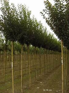 Großen Apfelbaum Kaufen : bereits gro en zierkirschbaum pandora kaufen und liefern lassen ~ Frokenaadalensverden.com Haus und Dekorationen