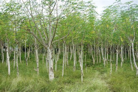 Where in the World is Moringa Oleifera?