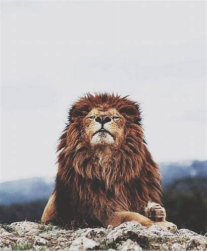 Lion Animated Lions Animals Gifs Cats Animation