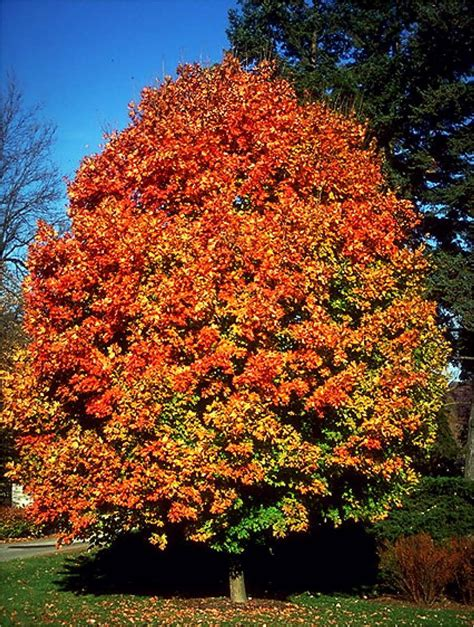 what type of maple tree do i top 28 what type of maple tree do i different types of japanese maples i love japanese