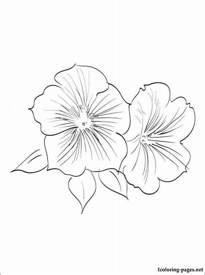 Petunia Coloring Pages Flowers Printable Site Getcolorings