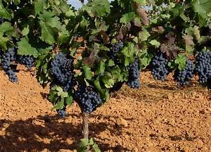 Como se llama planta de la uva