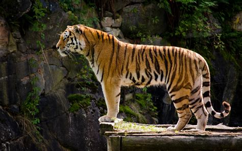 Tiger Hd Wallpapers  Tiger Pictures Free Download 1080p