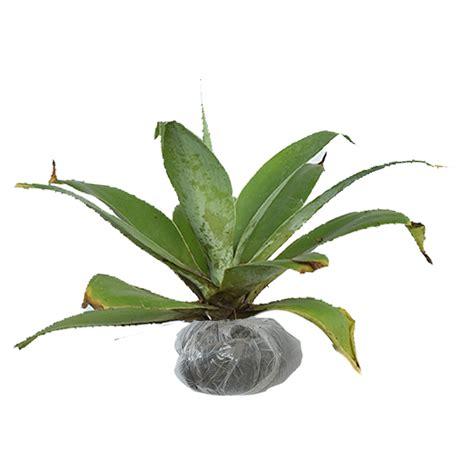 tanaman agave ciklok bibitbungacom