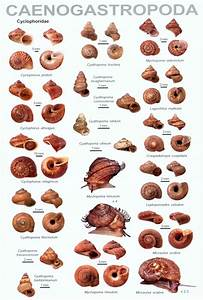 An Illustrated Guide To The Land Snails Of The Western