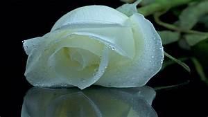 White roses wallpaper free download hd-