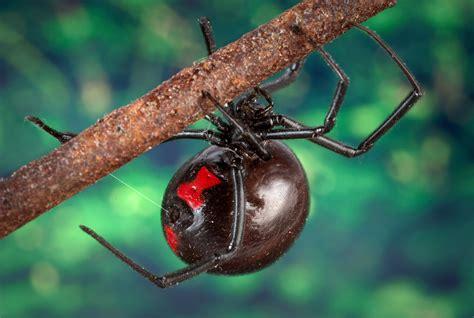 Fileblack Widow Spider 9854 Lores Wikipedia