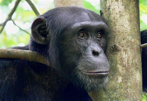 bili ape   Strange Animals Podcast