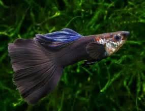 dumbo ear guppy aquarium fish freshwater aquarium fish