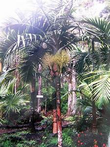 PlantFiles Pictures: Hyophorbe Species, Champagne Palm ...