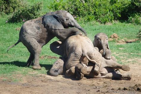 Baby Elephants Play Fight And Pile On Top Of Each Other In