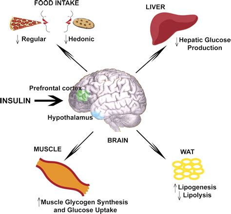 insulin action   brain clinically relevant diabetes