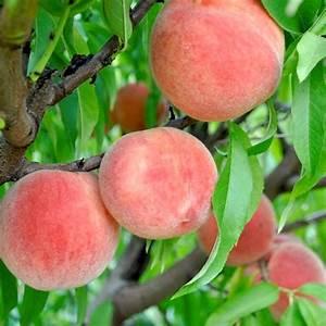 Carolina Belle Peach - Peach Trees - Stark Bro's