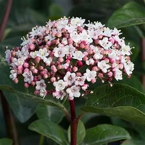 Arbuste Fleuri En Pot : viburnum tinus lisa rose pot 7 5l autres marques ~ Premium-room.com Idées de Décoration