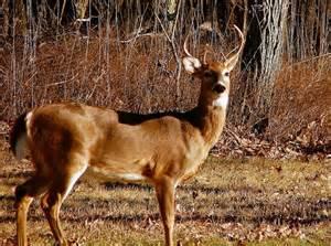 Blue Ridge Mountains Deer