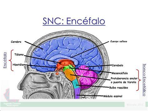la snc sistema nervioso 191 c 243 mo est 225 organizado el sistema nervioso