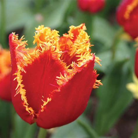 tulip bulbs item 1803 fringed fabio tulip fringed tulip bulbs tulips com