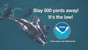 North Atlantic Right Whale  Stay 500 Yards Away
