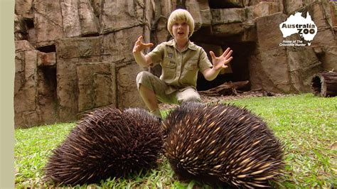 robert irwins australia zoo  youtube