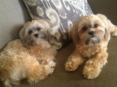 do yorkie poos shed hair grown yorkie poo breeds picture