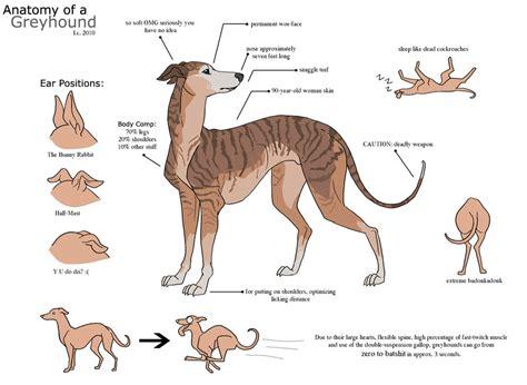 The Very Funny Anatomy Of A Greyhound