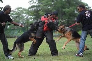 Stephen guard dog training center kajangbiz for Guard dog training