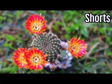 How To Propagate Lobivia Cactus วิธีชำหน่อโลบิเวียแบบง่าย ...